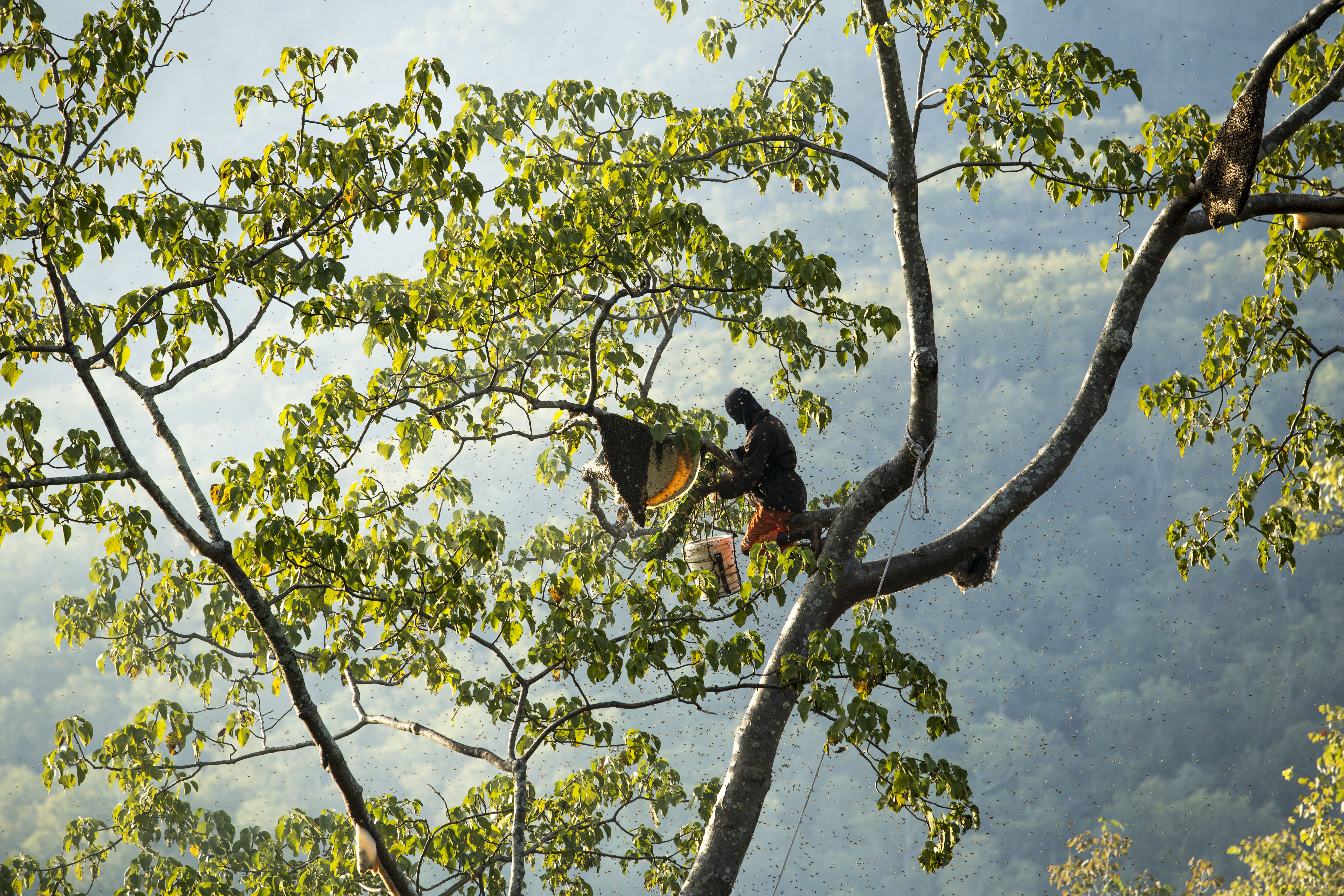 A Molo community member harvesting the honey in the forests of West Timor, Indonesia. (Credit: Center for International Forestry Research)