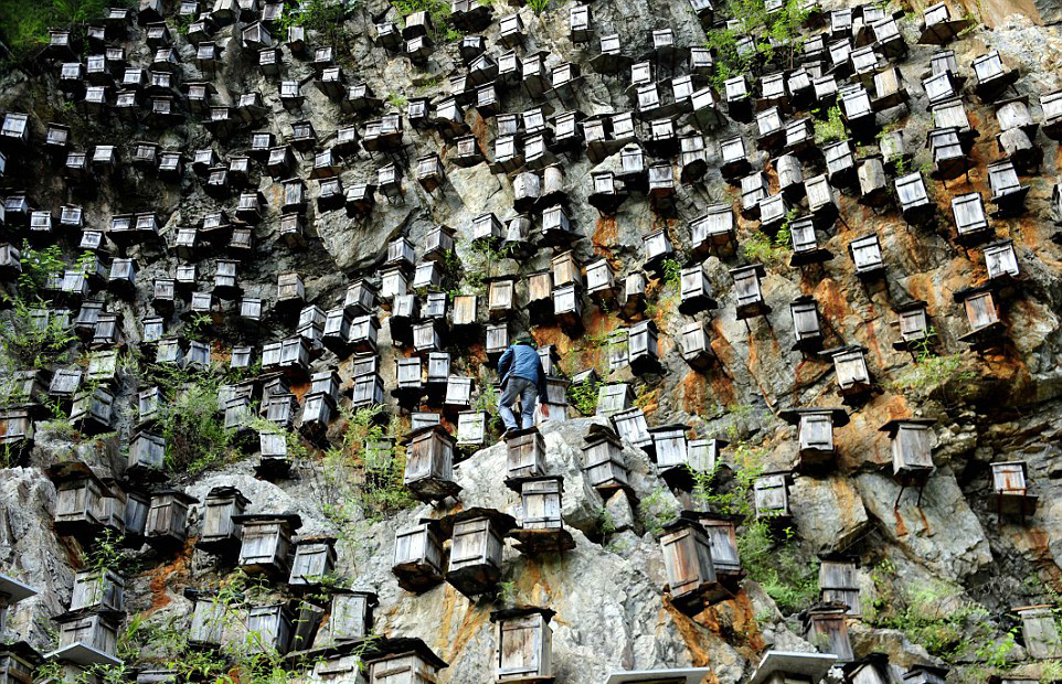Hundreds of man-made beehives pinned high on a steep cliff face to emulate wild bees' natural habitat in the Shennongjia forestry reserve, China. (Credit: Inhabitat)