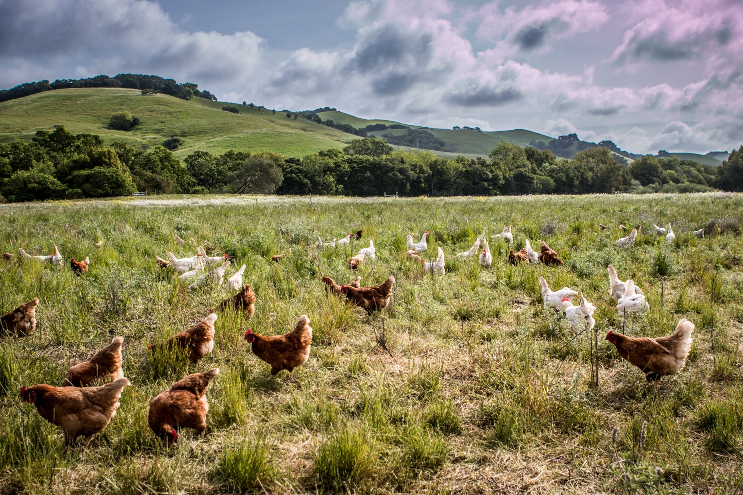 Chickens have freedom to roam at RedHill Farms in West Marin County, CA. Their eggs are sold to Austin-based Vital Farms, which produces 1.5 million pasture-raised organic eggs every week. (Credit: Vital Farms)