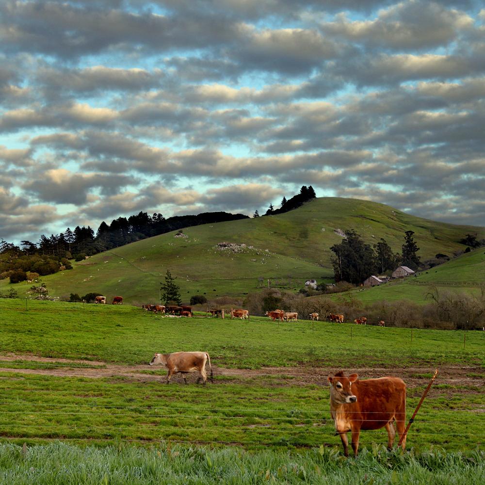 Straus Family Creamery Cows | Fresh Planet Flavor