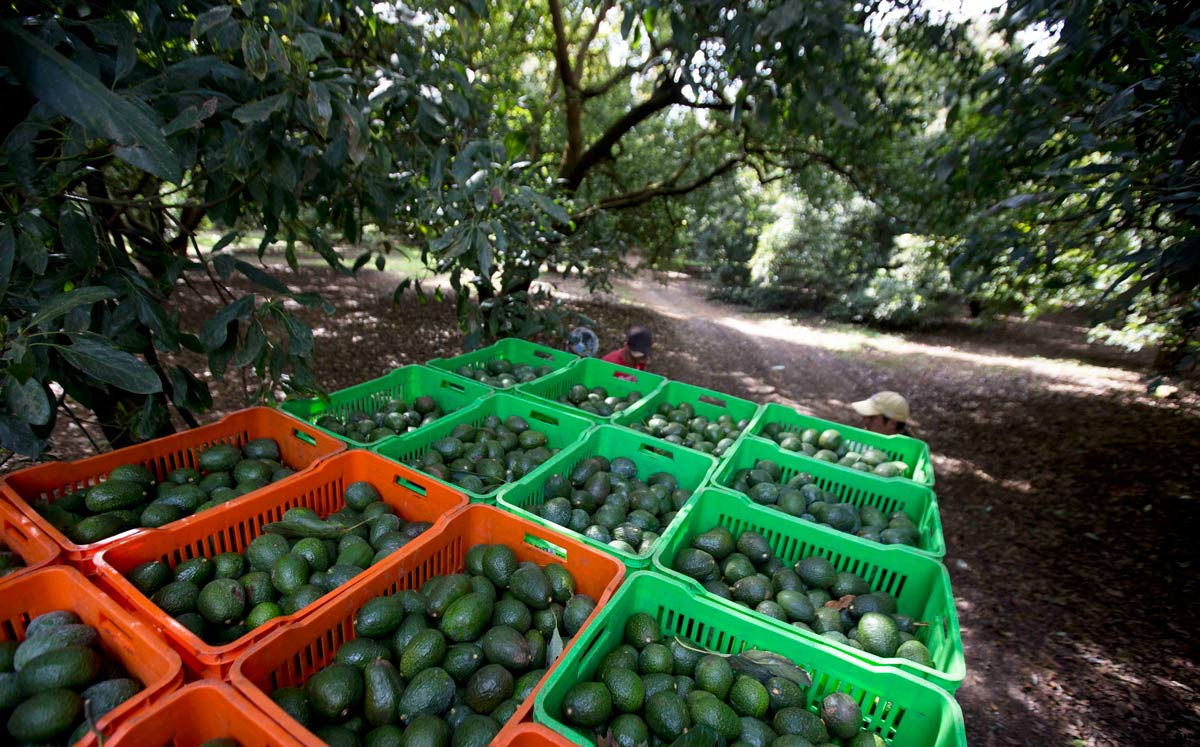 An avocado harvest is collected in Michoacán, the only Mexican state authorized to export the fruit to the United States. A mature avocado orchard uses almost twice as much water as fairly dense forest, meaning less water reaches Michoacán's legendary crystalline mountain streams on which trees and animals in the forests depend. (Credit: Naples Herald)